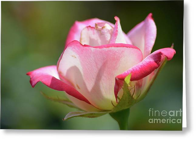 Pink And White Rose Greeting Card by Ruth Housley