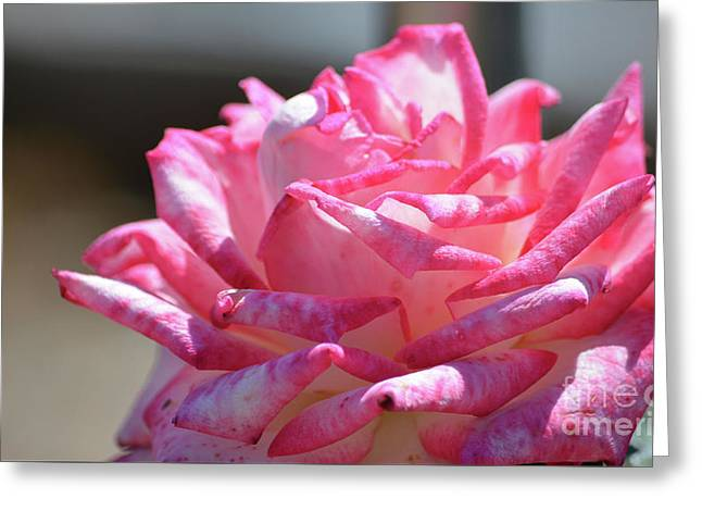 Pink And White Ruffle Rose  Greeting Card by Ruth Housley