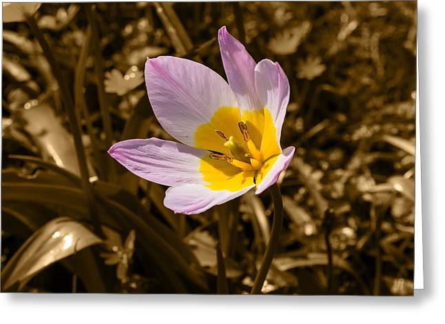 Pink And Yellow Tulip On Sepia Background Greeting Card