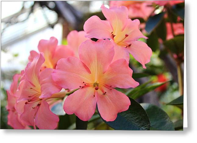 Pink And Yellow Vireya Greeting Card