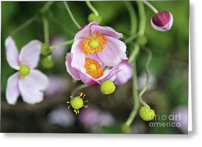 Pink Anemone Flowers Embrace Greeting Card