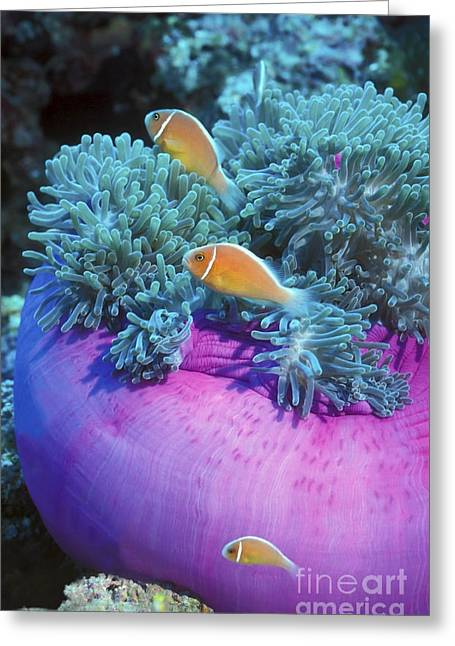 Pink Anemonefish Protect Their Purple Greeting Card by Michael Wood