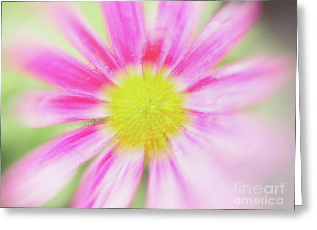 Pink Aster Flower With Raindrops Abstract Greeting Card by Nick Biemans