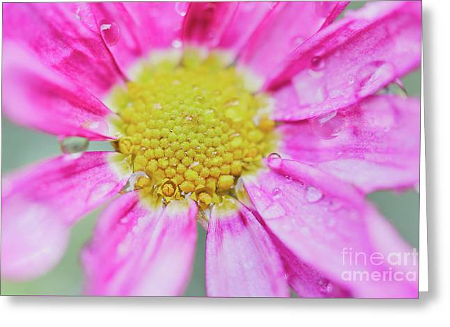 Pink Aster Flower With Raindrops Greeting Card by Nick Biemans