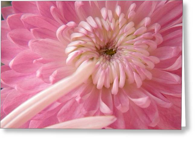 Pink Astra Greeting Card by Alyona Firth