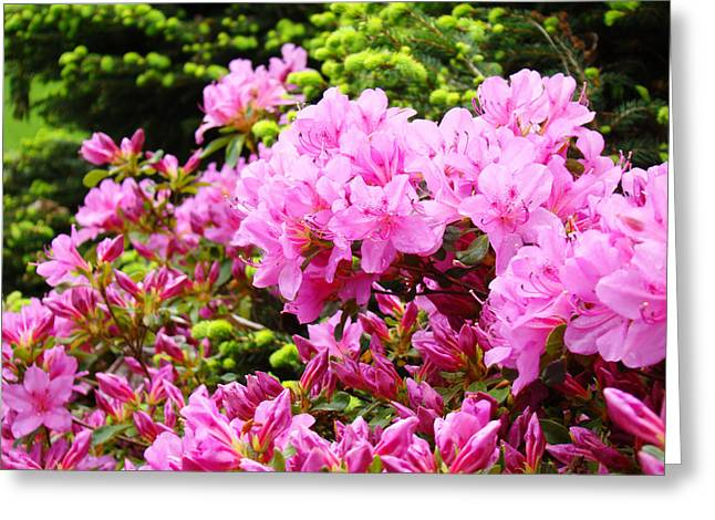 Pink Azalea Flowers Landscape 11 Art Prints Canvas Artwork Framed Art Cards Greeting Card by Baslee Troutman