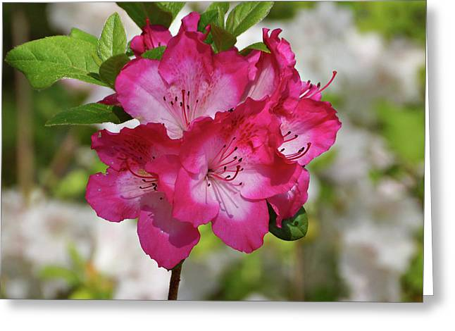 Greeting Card featuring the photograph Pink Azalea by Sandy Keeton