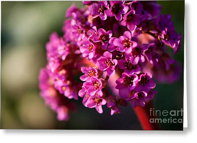 Pink Bergenia Flowering Plant Greeting Card by Arletta Cwalina