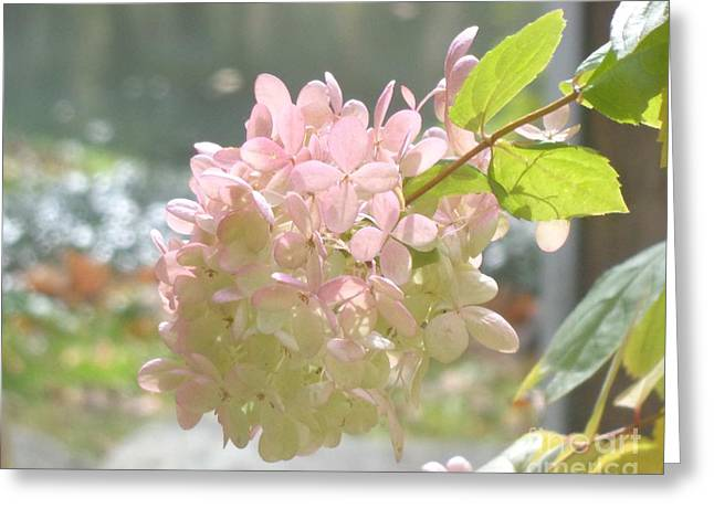 Pink Bloom In Sun Greeting Card