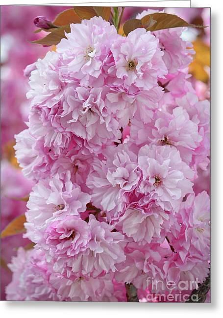 Pink Blossoms Cluster Greeting Card by Carol Groenen