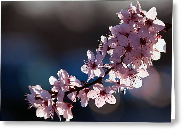 Pink Blossoms Greeting Card by Don Gradner