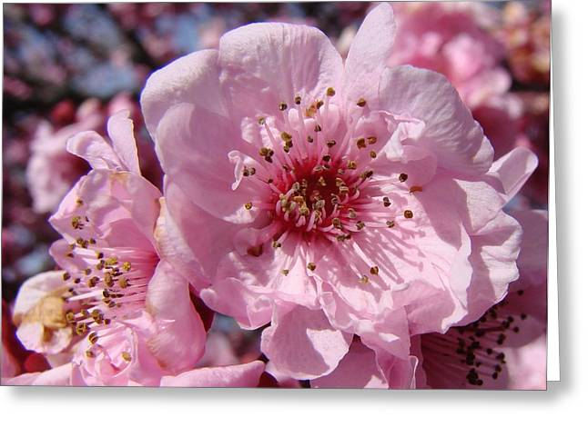 Pink Blossoms Greeting Card by Liz Vernand
