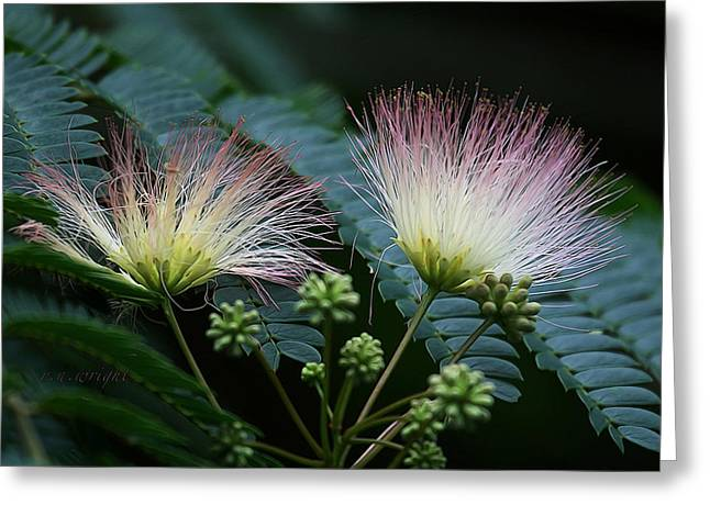 Pink Mimosa  Greeting Card