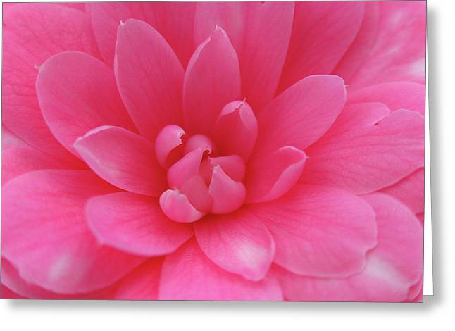 Pink Camellia Greeting Card by Juergen Roth