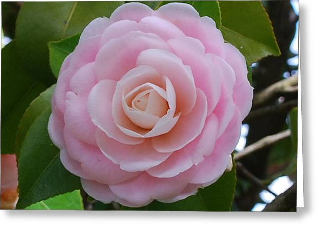 Pink Camellia Greeting Card by Linda Sramek