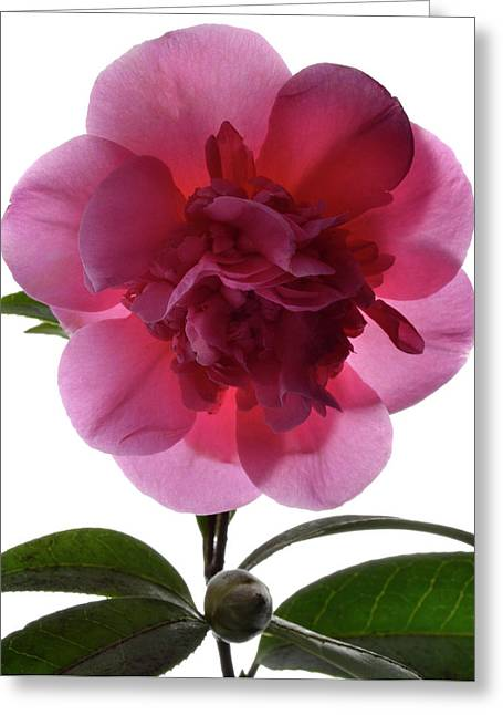 Camellia Photographs Greeting Cards - Pink Camellia Greeting Card by Terence Davis