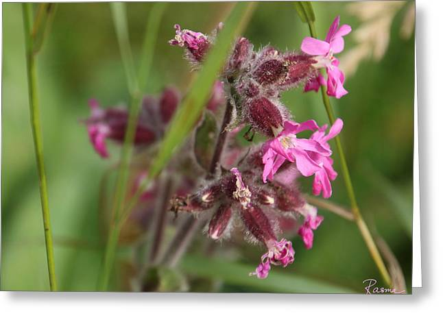 Pink Campion In August Greeting Card