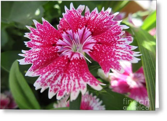 Pink Carnation  Greeting Card