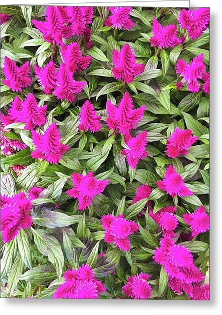 Pink Celosia Flowers Greeting Card