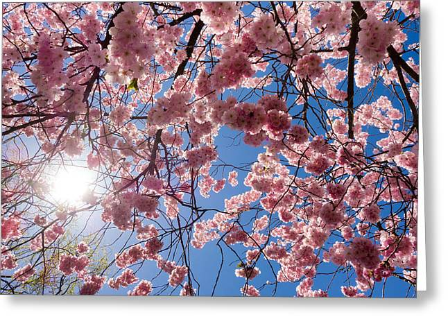 Pink Cherry Blossoms And Blue Sky In Spring Greeting Card by Matthias Hauser