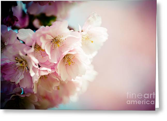 Pink Cherry Blossoms Closeup Greeting Card