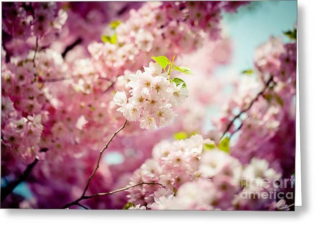 Pink Cherry Blossoms Sakura  Greeting Card by Raimond Klavins