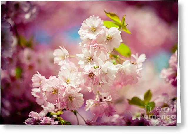 Pink Cherry Blossoms Sakura Spring  Greeting Card by Raimond Klavins