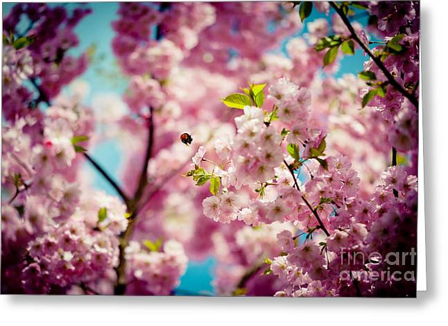 Pink Cherry Blossoms Sakura With Bee Greeting Card by Raimond Klavins
