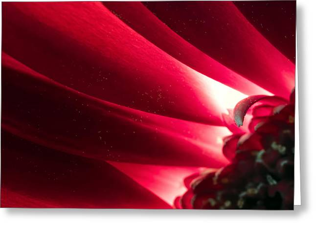 Pink Chrysanthemum Flower Petals  In Macro Canvas Close-up Greeting Card