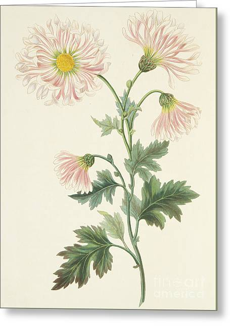 Pink Chrysanthemum Greeting Card