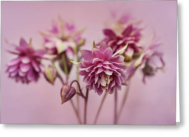 Pink Columbines Greeting Card