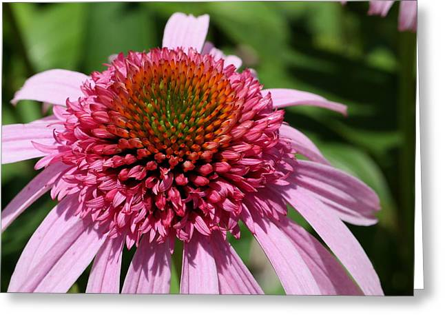 Pink Coneflower Close-up Greeting Card