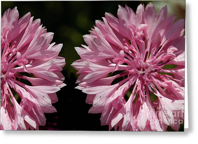 Pink Cornflowers Greeting Card