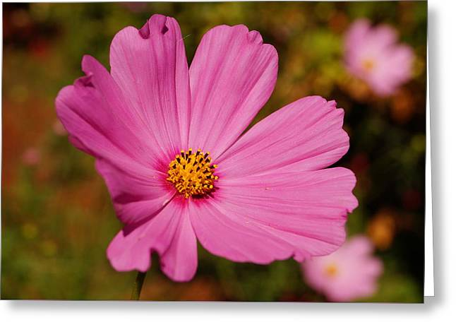 Pink Cosmos Greeting Card by Beth Collins