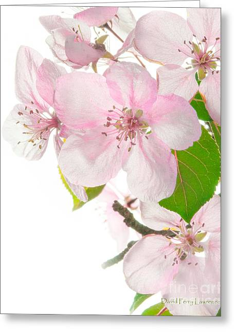 Pink Crabapple Blissoms Greeting Card by David Perry Lawrence