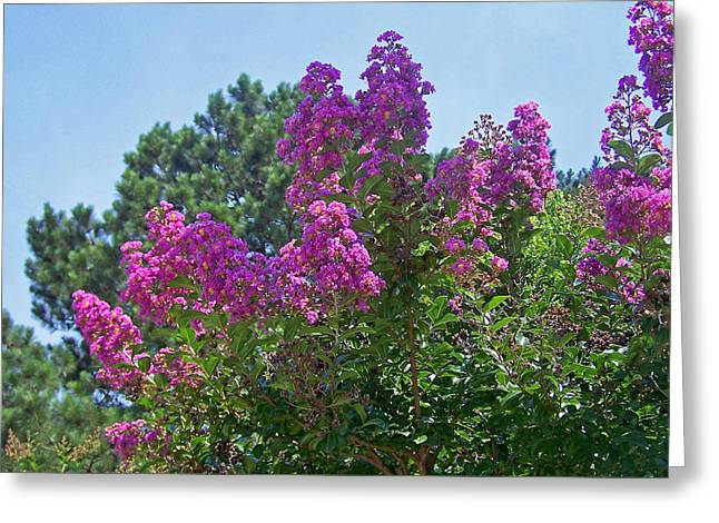 Pink Crape Myrtle Greeting Card by Patricia Taylor