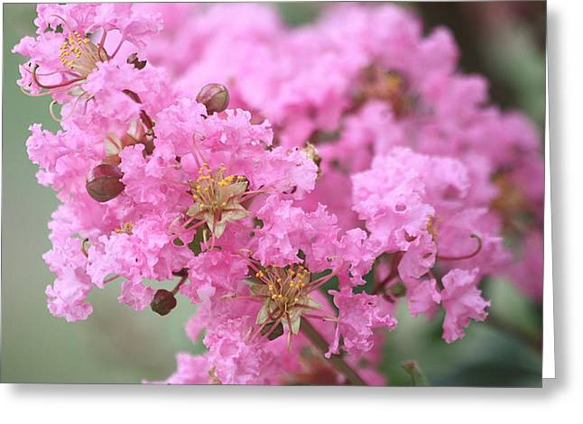 Greeting Card featuring the photograph Pink Crepe Myrtle Close-up by Sheila Brown