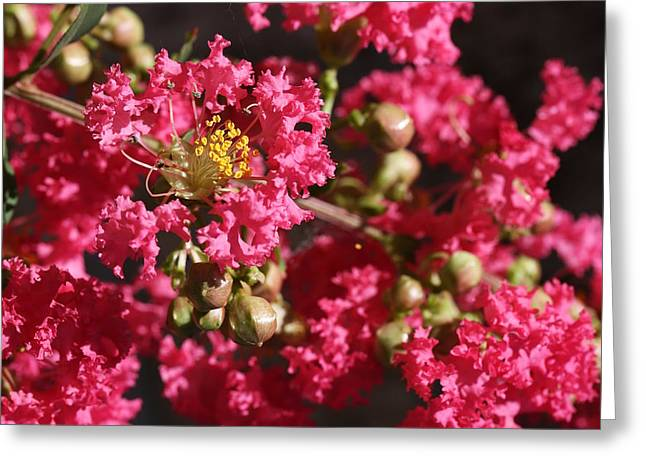 Greeting Card featuring the photograph Pink Crepe Myrtle Flowers by Debi Dalio