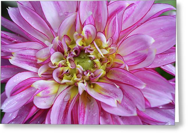 Pink Dahlia Greeting Card by Aimee L Maher Photography and Art Visit ALMGallerydotcom