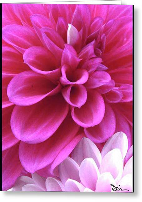 Majenta Greeting Cards - Pink Dahlia Greeting Card by Peggy Dietz