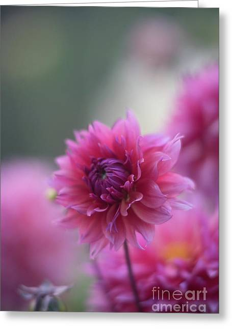 Pink Dahlia Petals Ruffled Greeting Card