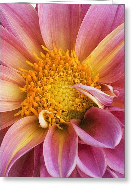 Pink Dahlia Greeting Card by Tony Ramos