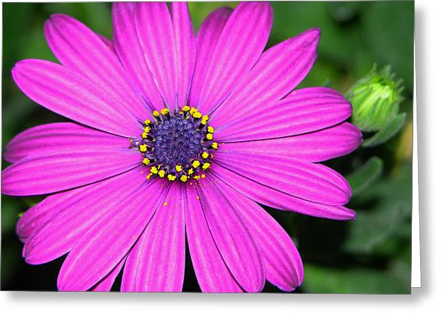 Pink Daisy Greeting Card by Dori Peers