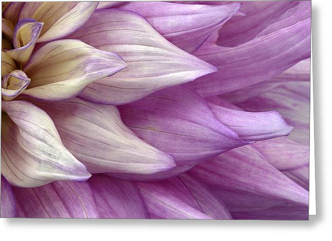 Pink Dalia Up Close Greeting Card by James Steele