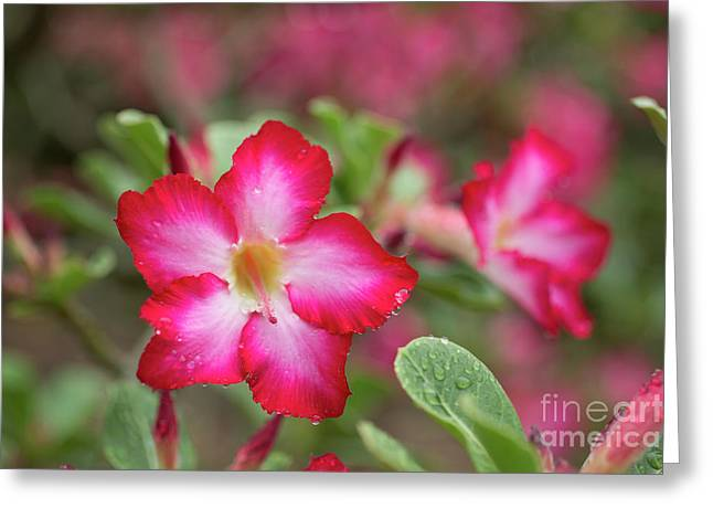 Pink Desert Rose Flower Greeting Card