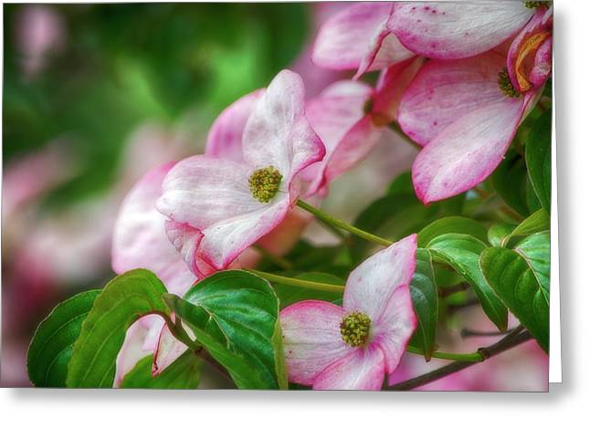 Greeting Card featuring the photograph Pink Dogwood by Bonnie Bruno