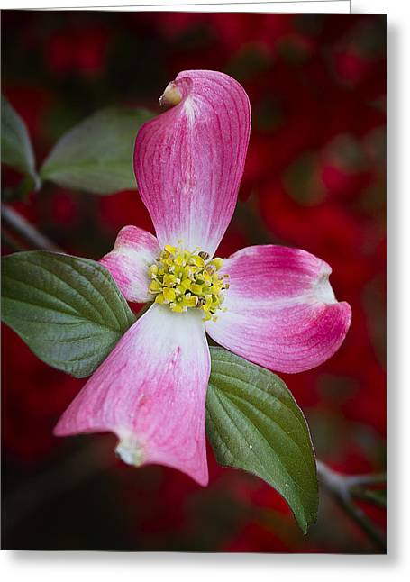 Greeting Card featuring the photograph Pink Dogwood by Ken Barrett