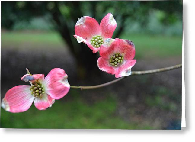 Greeting Card featuring the photograph Pink Dogwood by Linda Geiger