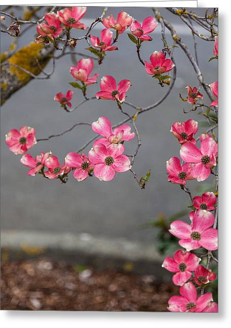 Pink Dogwoods Greeting Card