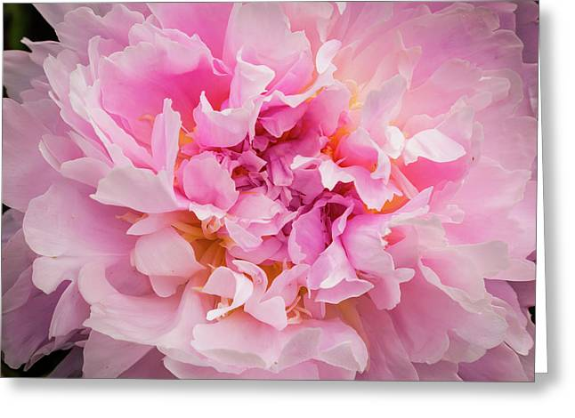 Pink Double Peony Greeting Card